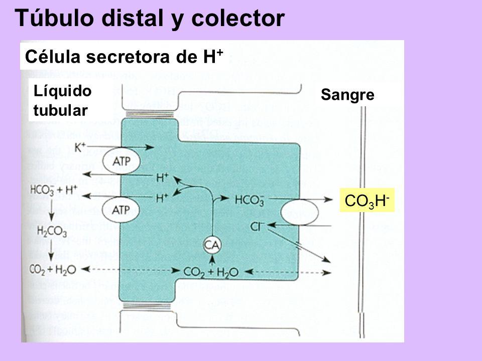 CO 3 H - Líquido tubular Sangre Túbulo distal y colector Célula secretora de H +