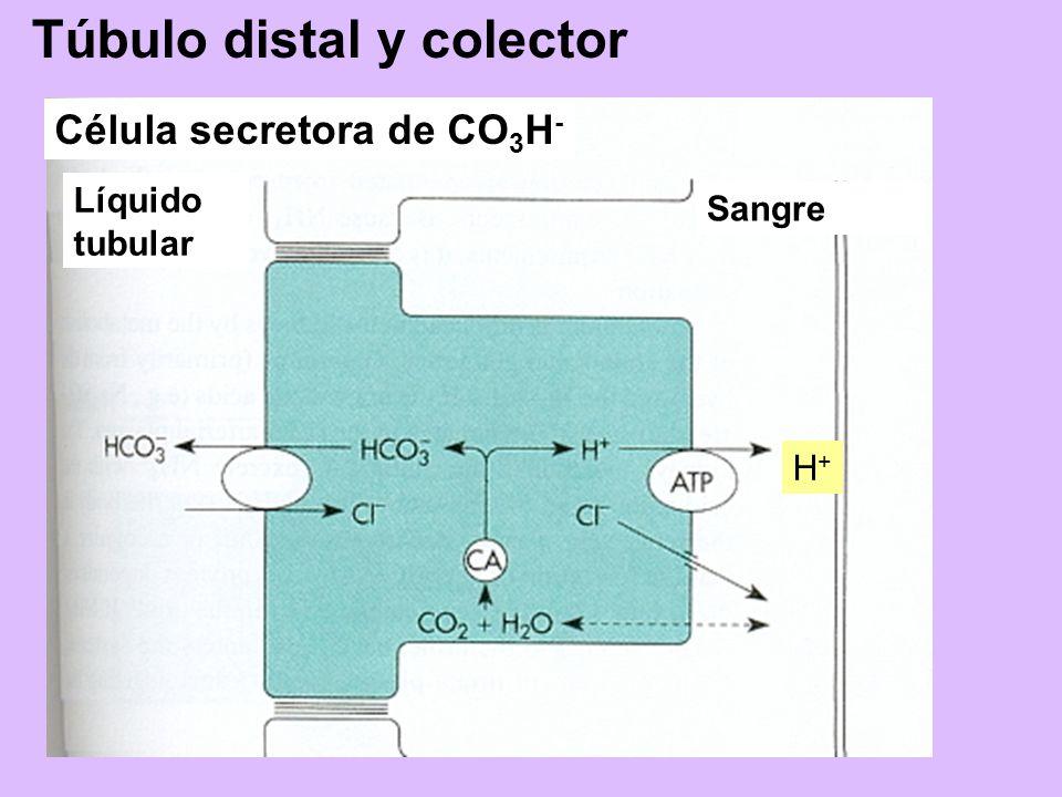 H+H+ Líquido tubular Sangre Túbulo distal y colector Célula secretora de CO 3 H -