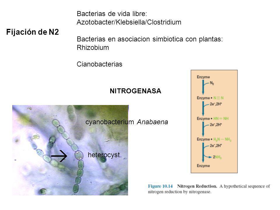 Fijación de N2 Bacterias de vida libre: Azotobacter/Klebsiella/Clostridium Bacterias en asociacion simbiotica con plantas: Rhizobium Cianobacterias NI