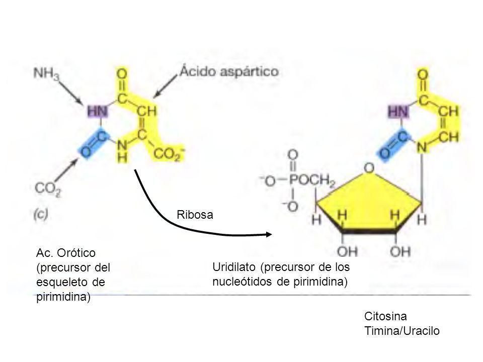 Ac. Orótico (precursor del esqueleto de pirimidina) Uridilato (precursor de los nucleótidos de pirimidina) Ribosa Citosina Timina/Uracilo