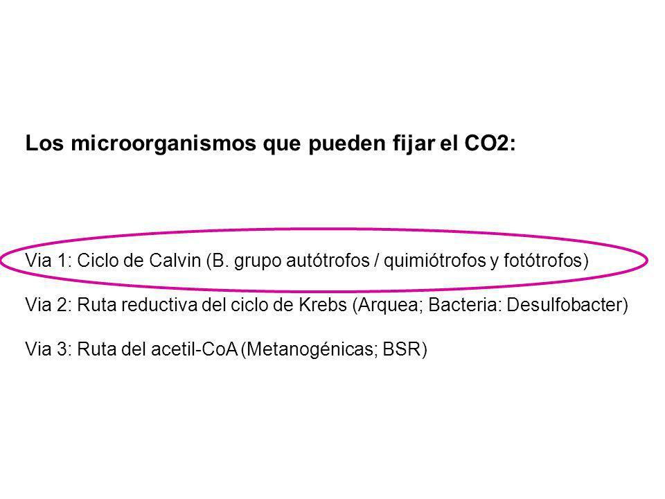 Los microorganismos que pueden fijar el CO2: Via 1: Ciclo de Calvin (B. grupo autótrofos / quimiótrofos y fotótrofos) Via 2: Ruta reductiva del ciclo