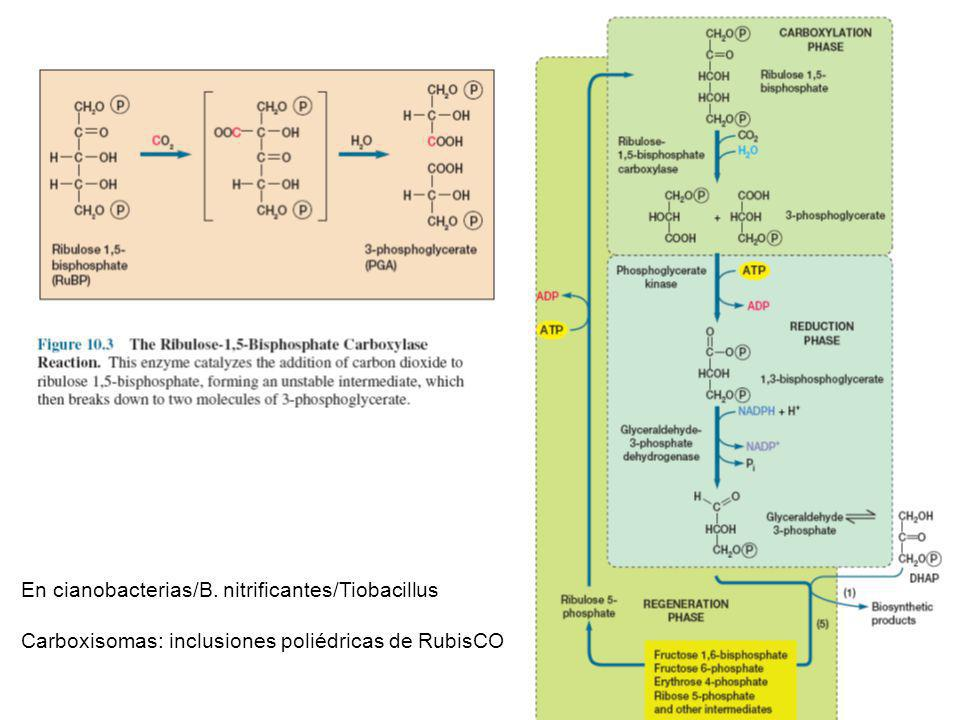 Gluconeogénesis. SINTESIS SINTESIS DE HIDRATOS DE CARBONO QUIMIOHETERÓTROFOS Manosa-6P