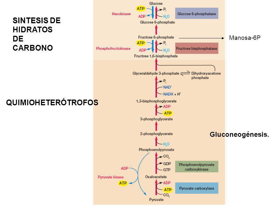 Síntesis de polisacáridos: Almidón/Glucógeno