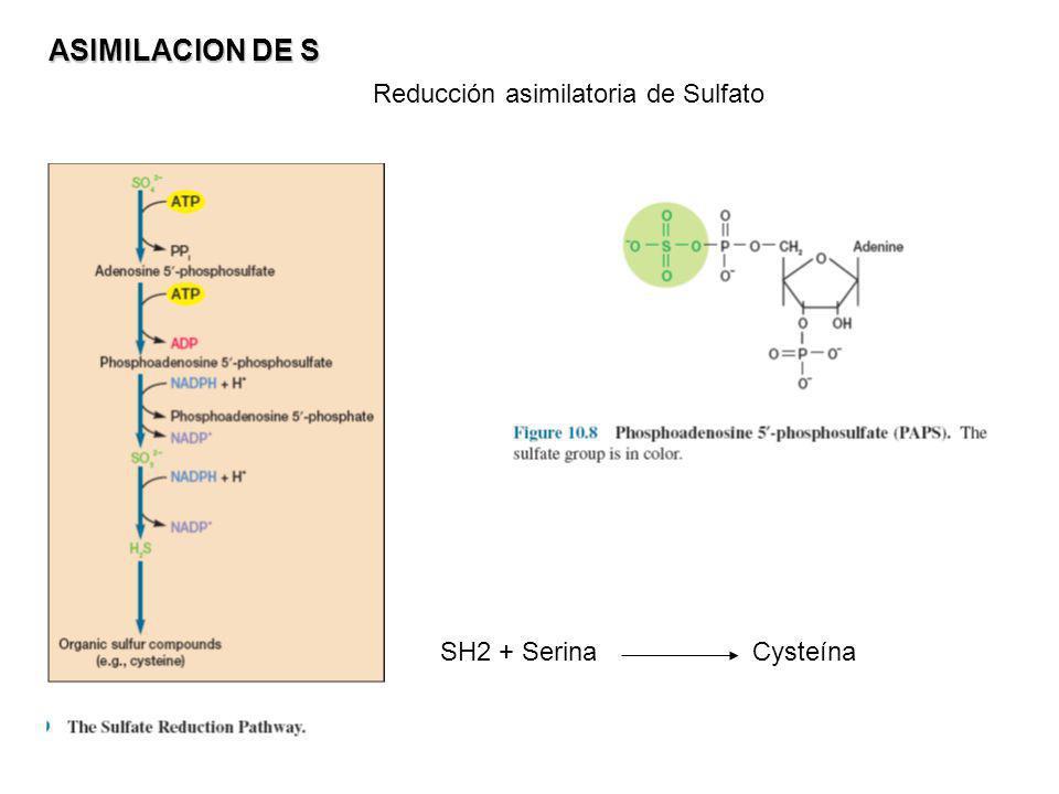 ASIMILACION DE S Reducción asimilatoria de Sulfato SH2 + Serina Cysteína