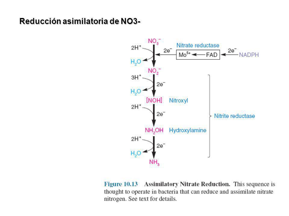 Fijación de N2 Bacterias de vida libre: Azotobacter/Klebsiella/Clostridium Bacterias en asociacion simbiotica con plantas: Rhizobium Cianobacterias NITROGENASA cyanobacterium Anabaena heterocyst.
