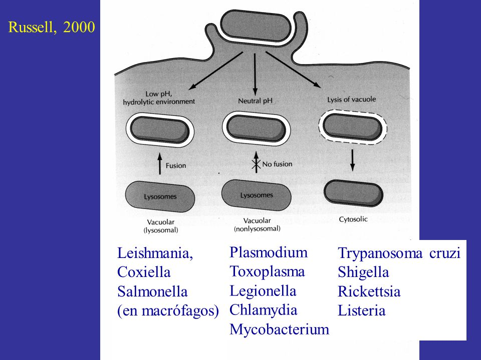 Leishmania, Coxiella Salmonella (en macrófagos) Plasmodium Toxoplasma Legionella Chlamydia Mycobacterium Trypanosoma cruzi Shigella Rickettsia Listeria Russell, 2000