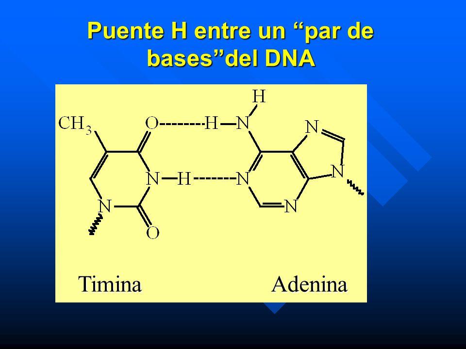 Puente H entre un par de basesdel DNA Timina Adenina