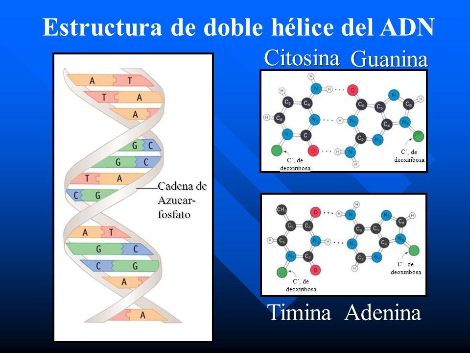 Estructura de doble hélice del ADN Cadena de Azucar-fosfato C´, de deoxiribosa deoxiribosa deoxiribosa deoxiribosa Citosina Guanina TiminaAdenina