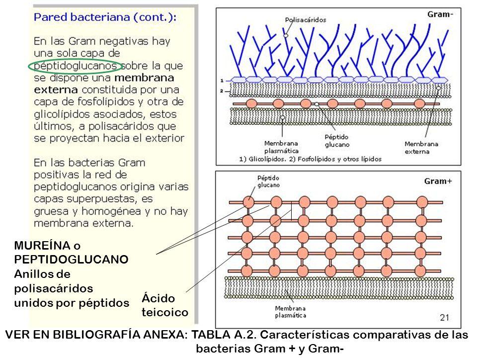 MUREÍNA o PEPTIDOGLUCANO Anillos de polisacáridos unidos por péptidos Ácido teicoico VER EN BIBLIOGRAFÍA ANEXA: TABLA A.2.