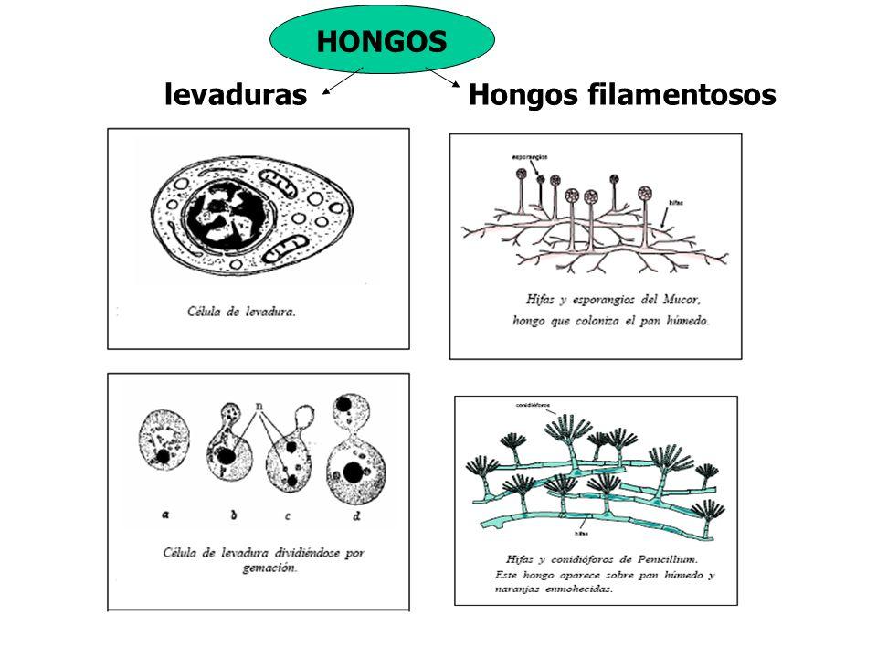 levadurasHongos filamentosos HONGOS