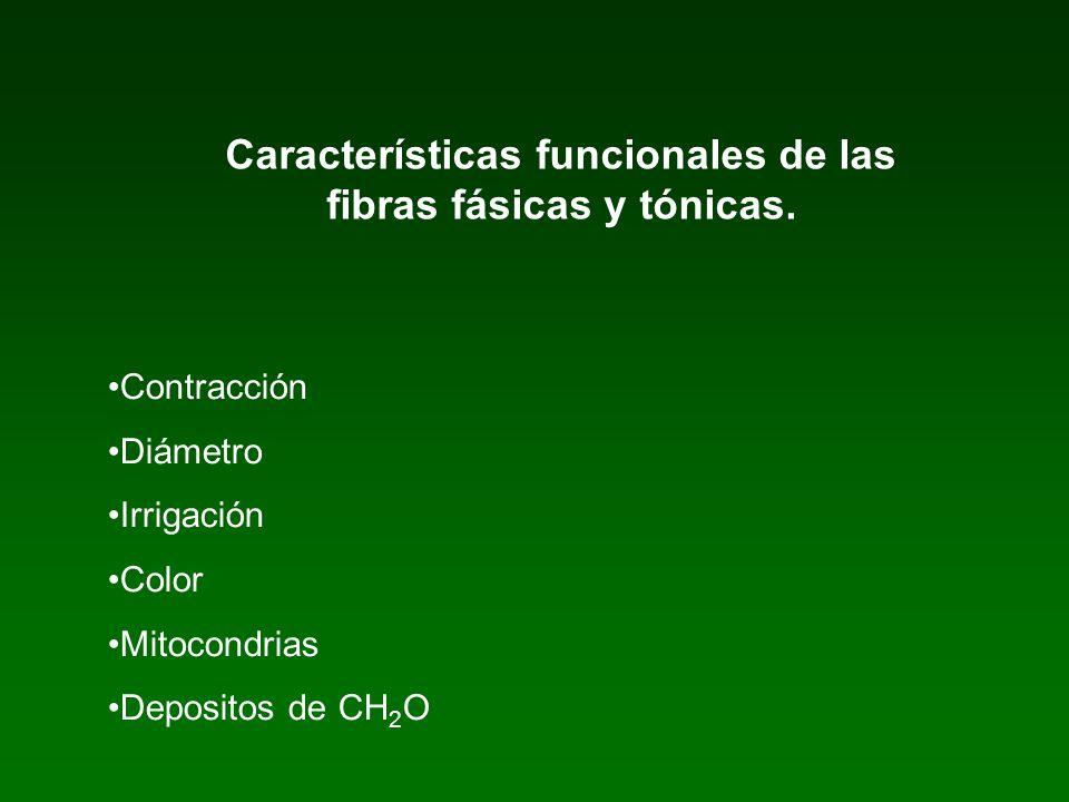 Características funcionales de las fibras fásicas y tónicas. Contracción Diámetro Irrigación Color Mitocondrias Depositos de CH 2 O