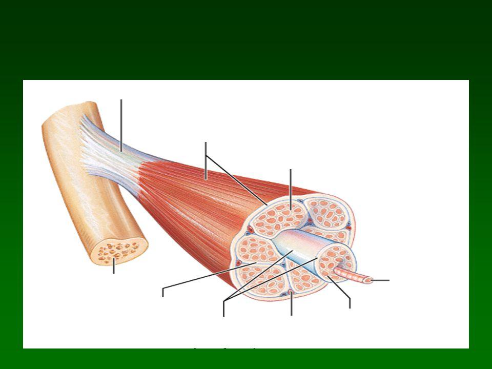 Características y funciones de las proteínas contráctiles y regulatorias.