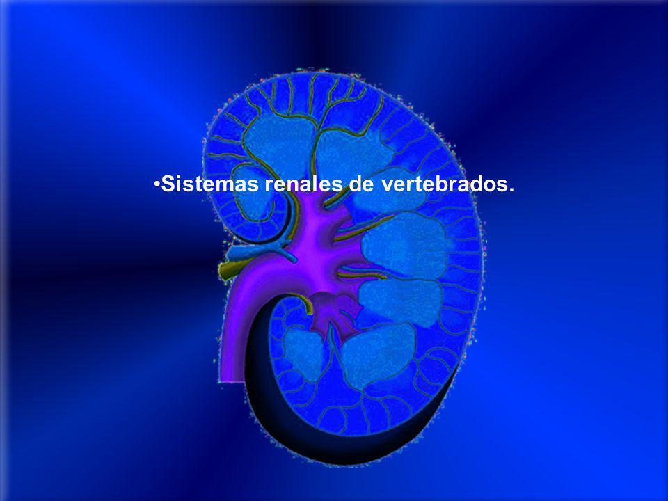 Sistemas renales de vertebrados.