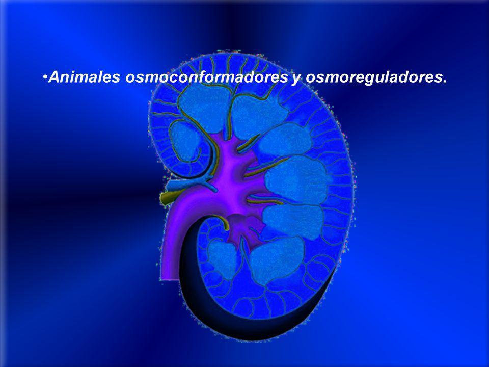 Animales osmoconformadores y osmoreguladores.