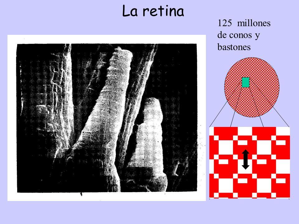 La retina 125 millones de conos y bastones