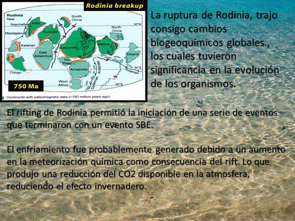 La ruptura de Rodinia, trajo consigo cambios biogeoquímicos globales., los cuales tuvieron significancia en la evolución de los organismos.