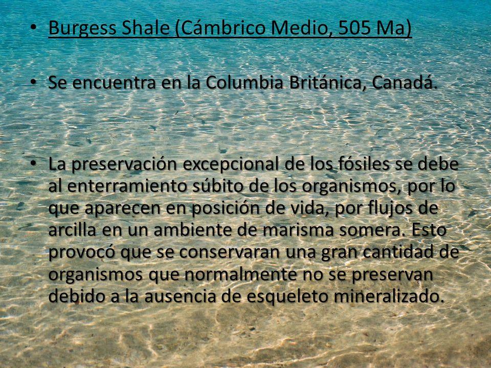 Burgess Shale (Cámbrico Medio, 505 Ma) Se encuentra en la Columbia Británica, Canadá.