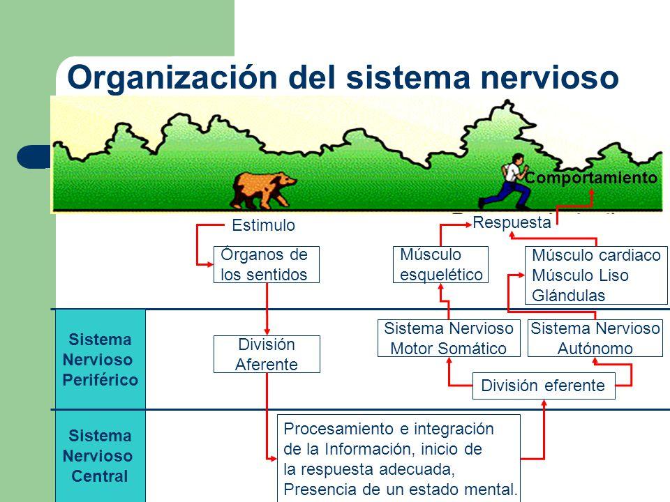 Desarrollo del bauplan del sistema nervioso de cordados Para comprender cuál es el bauplan del sistema nervioso de los cordados, conviene revisar brevemente cómo se desarrolla.