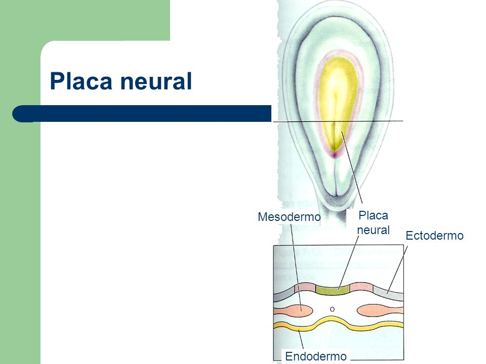 Placa neural Mesodermo Placa neural Ectodermo Endodermo