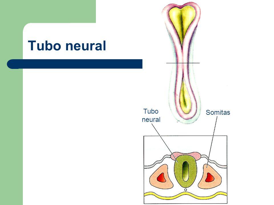 Tubo y cresta neural Cresta neural Tubo neural