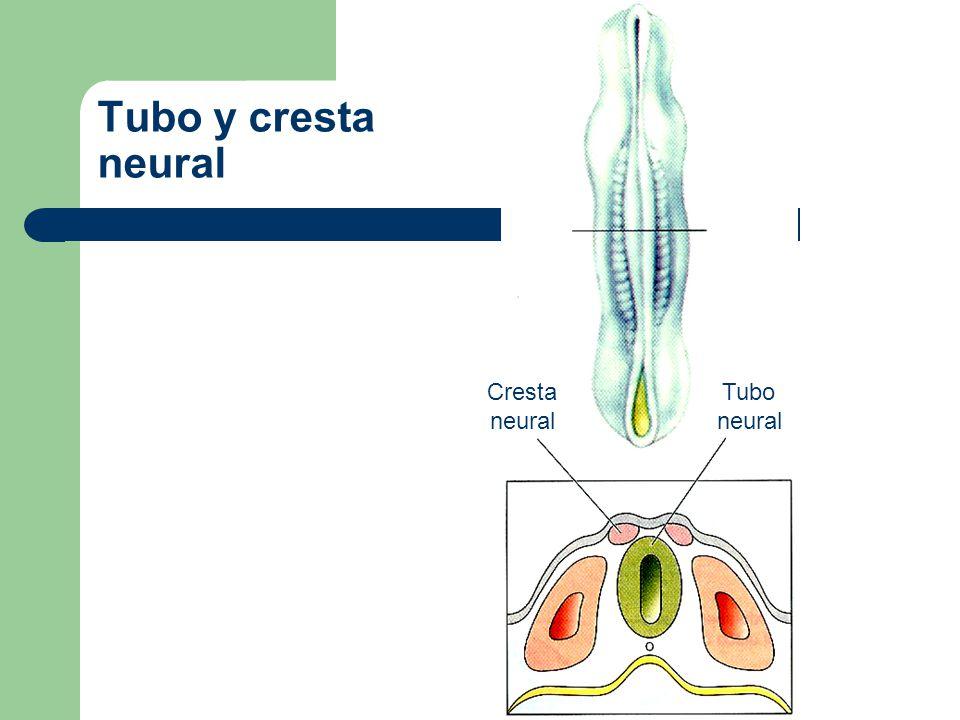 División anatómica del sistema nervioso en cordados Sistema Nervioso (SN) – Sistema nervioso central (SNC) Vesícula cerebral Tubo neural.