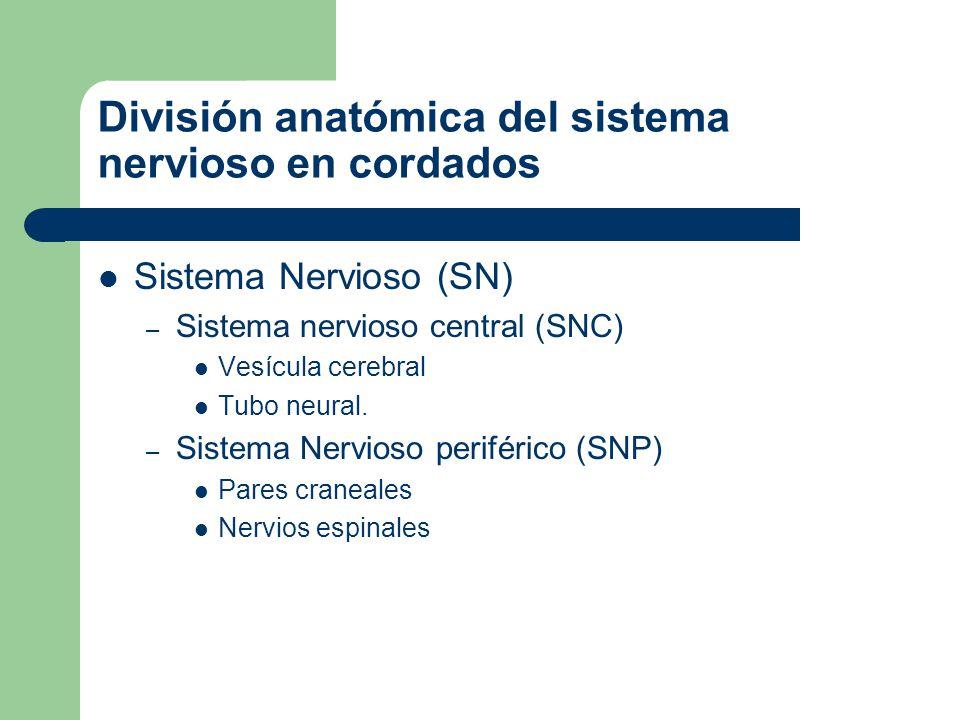 El bauplan del sistema nervioso de los procordados. Vesícula cerebral Tubo neural