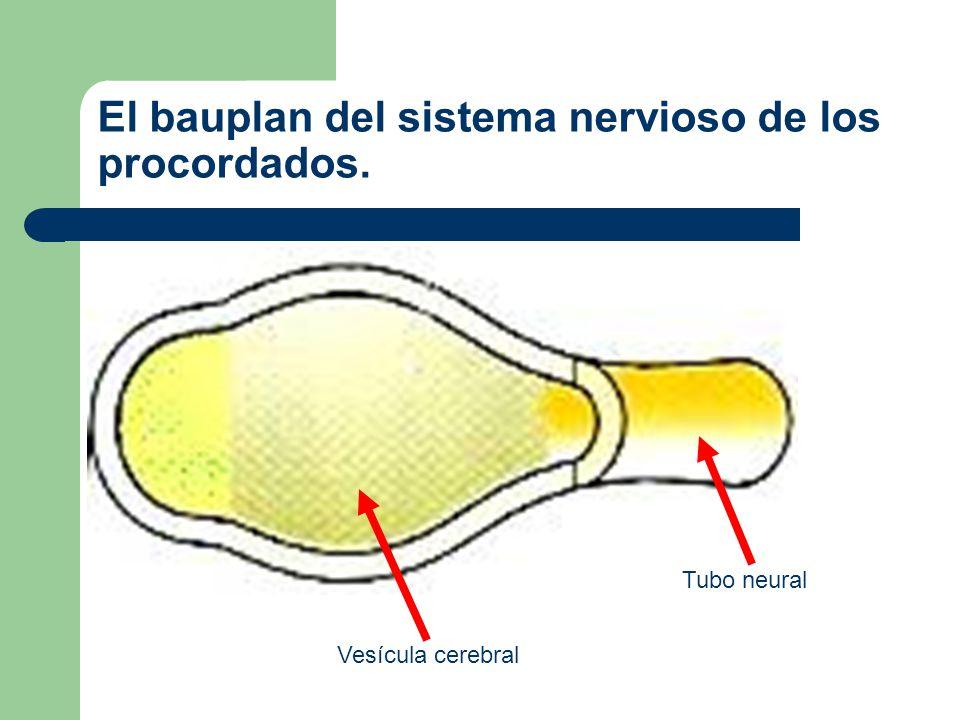 Esquema del bauplan del sistema nervioso de los procordados.