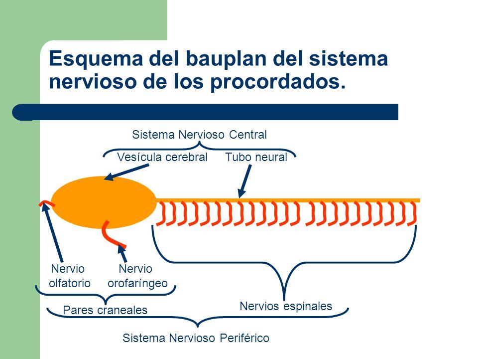 Desarrollo del cerebro tripartido Proencéfalo Mesencéfalo Rombencéfalo