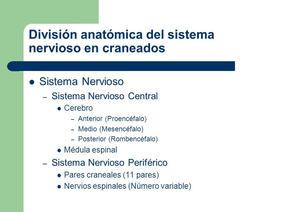 El bauplan del sistema nervioso de los craneados. Telencéfalo Diencéfalo Mesencéfalo Rombencéfalo
