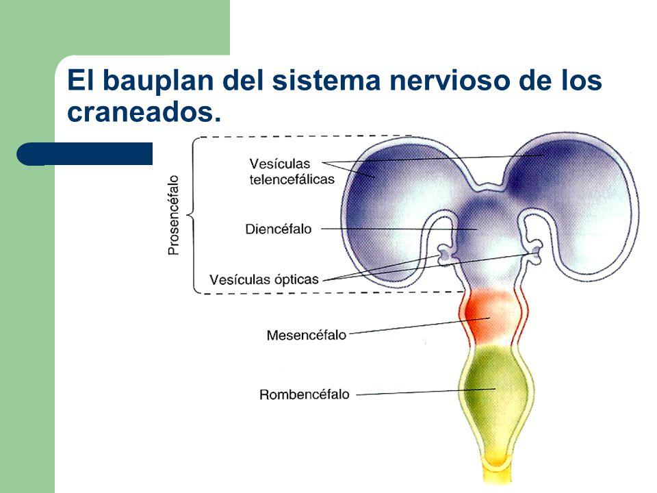 Desarrollo del ojo Ectoblasto Esbozo óptico Conducto encefálico Tubo neural