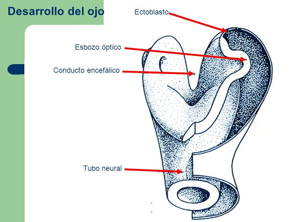 Desarrollo del ojo Epiblasto Proencéfalo Mesencéfalo Tercer ventrículo Vesícula óptica primaria Pedúnculo óptico Placoda óptica