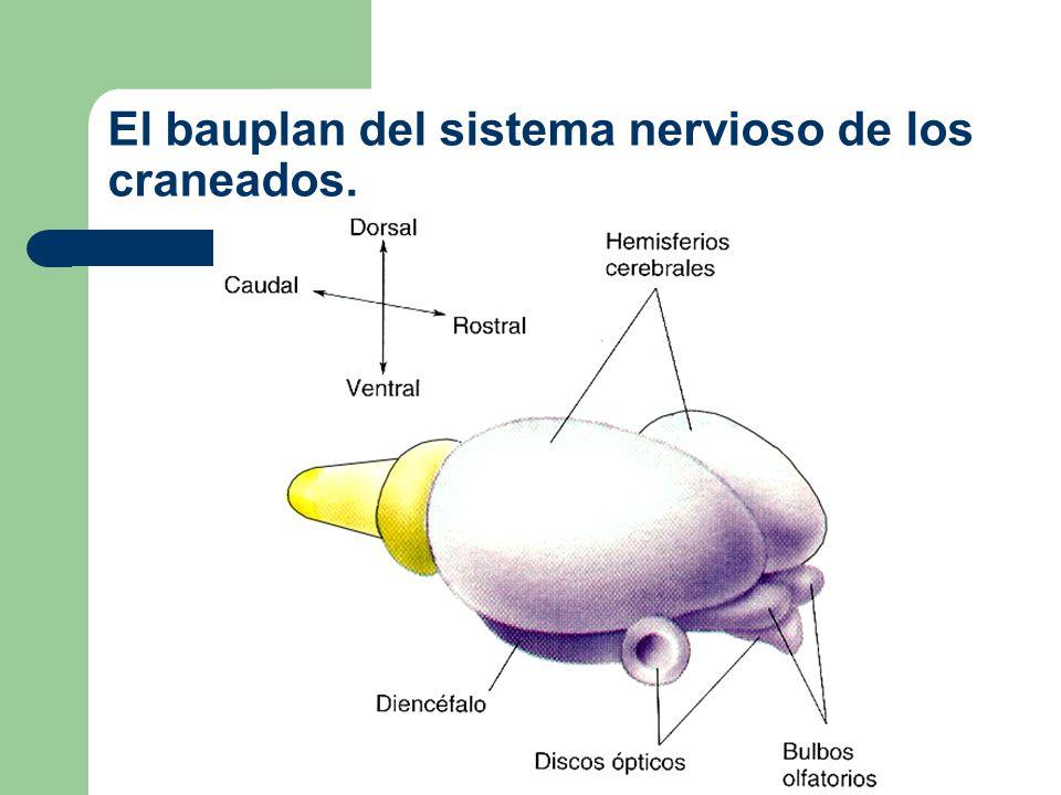 Proencéfalo Mesencéfalo RombencéfaloMédula espinal 0 I II III IV V VI VII VIII IX X Ojo Nervios espinales Cerebro Pares craneales