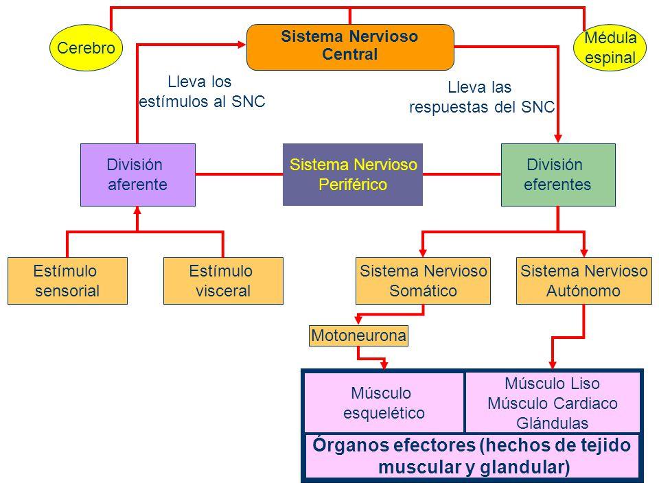 Clasificación del Sistema Nervioso De acuerdo al cuadro anterior, tenemos tres formas de clasificar al sistema nervioso: – Anatómica – Dirección de los impulsos – Funcional