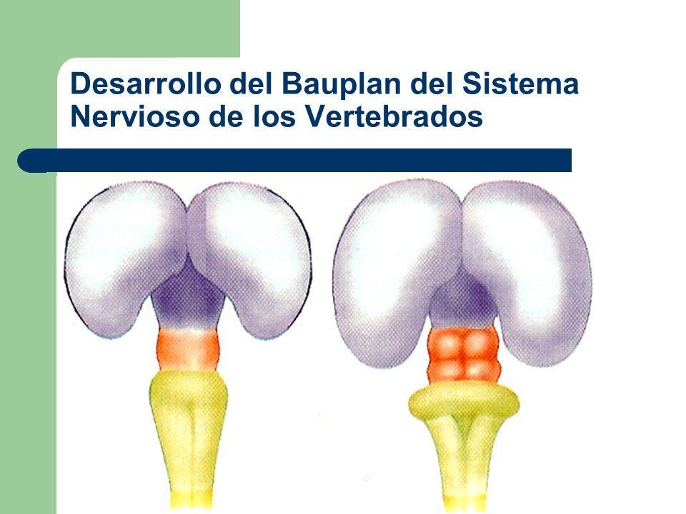 Desarrollo del Bauplan del Sistema Nervioso de los Vertebrados