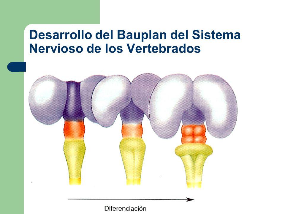 División anatómica del sistema nervioso en vertebrados Sistema Nervioso – Sistema Nervioso Central Cerebro – Anterior (Telencéfalo {hemisferios cerebrales y ganglios básales} y Diencéfalo {Tálamo e Hipotálamo}) – Medio (Mesencéfalo) – Posterior (Metencéfalo {puente y cerebelo} y Mielencéfalo {Médula oblongada}) Médula espinal – Sistema Nervioso Periférico Pares craneales (13) Nervios espinales (Número variable)