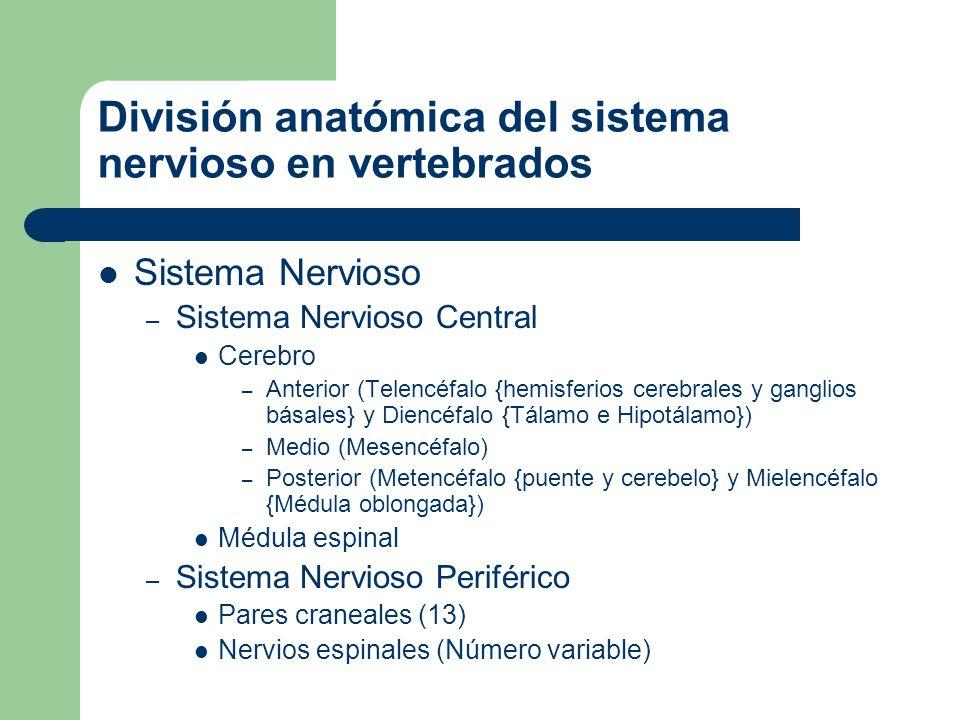 El bauplan del sistema nervioso de los vertebrados Telencéfalo Diencéfalo Mesencéfalo Metencéfalo Mielencéfalo Médula espinal
