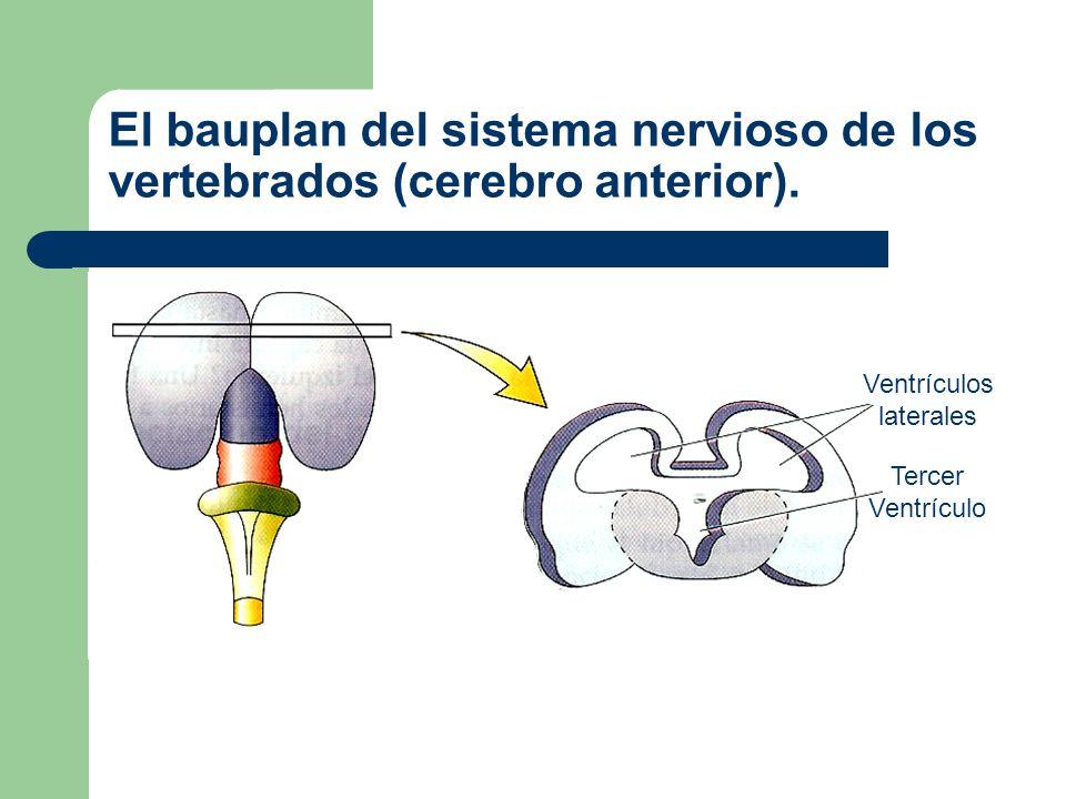 El bauplan del sistema nervioso de los vertebrados (cerebro anterior).
