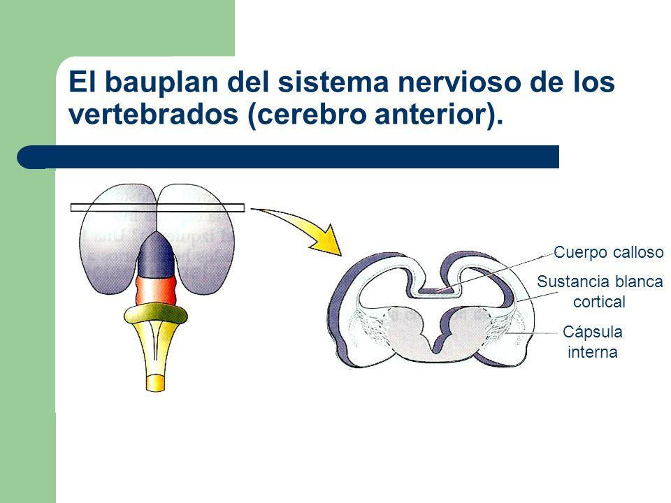 El bauplan del sistema nervioso de los vertebrados (cerebro medio).