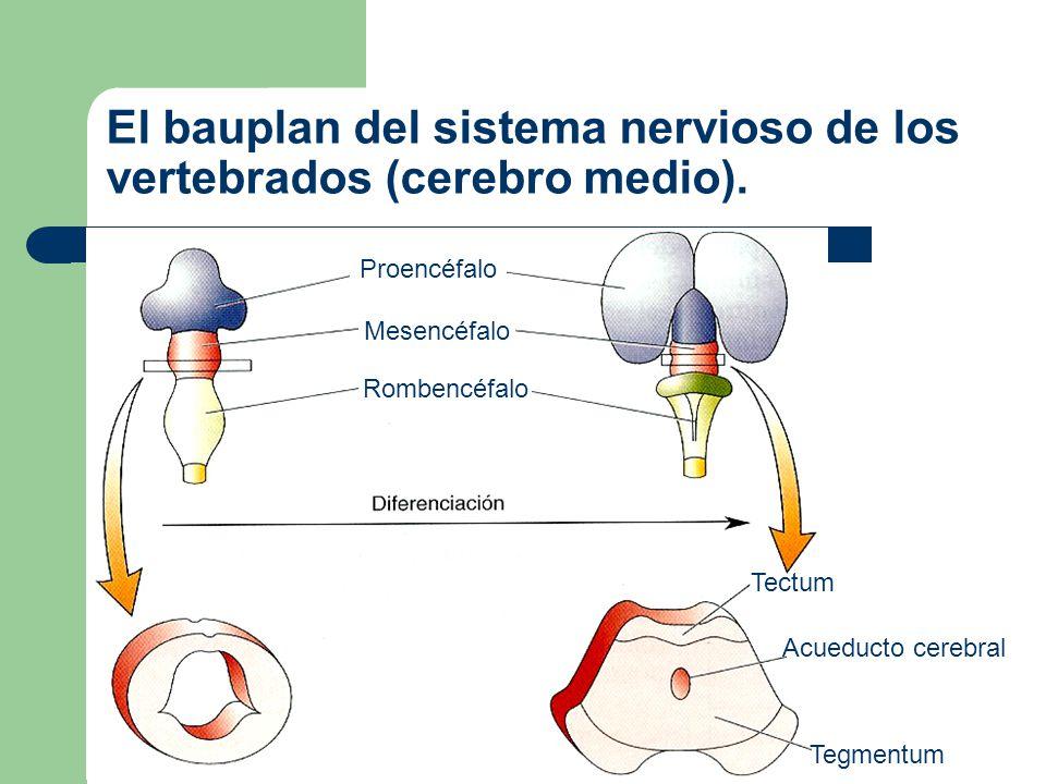 El bauplan del sistema nervioso de los vertebrados (cerebro posterior rostral).