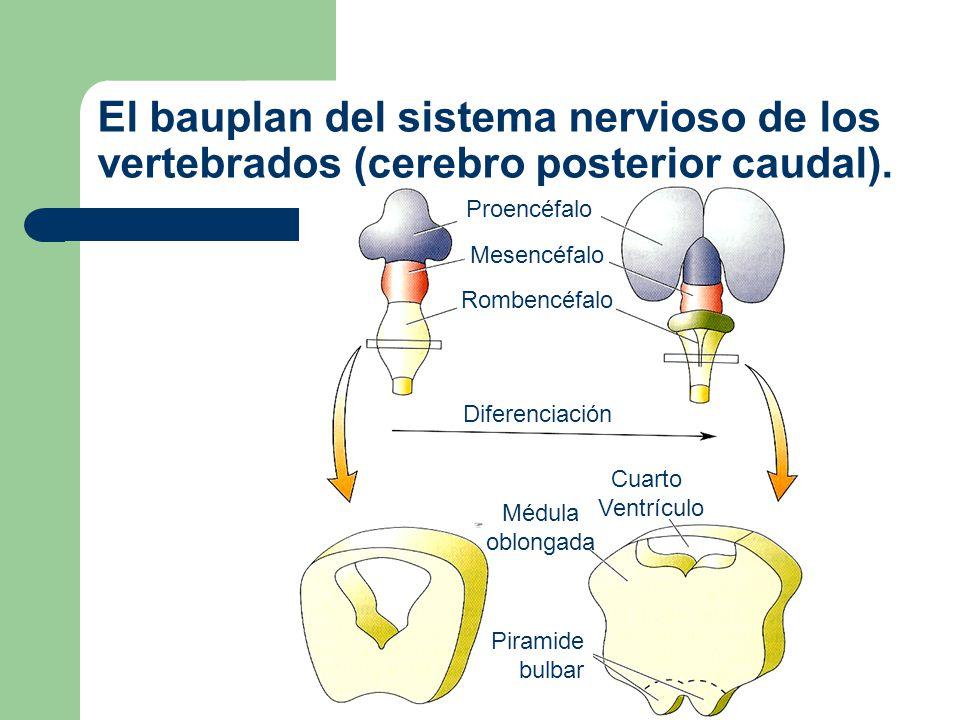 El bauplan del sistema nervioso de los vertebrados (Médula espinal).