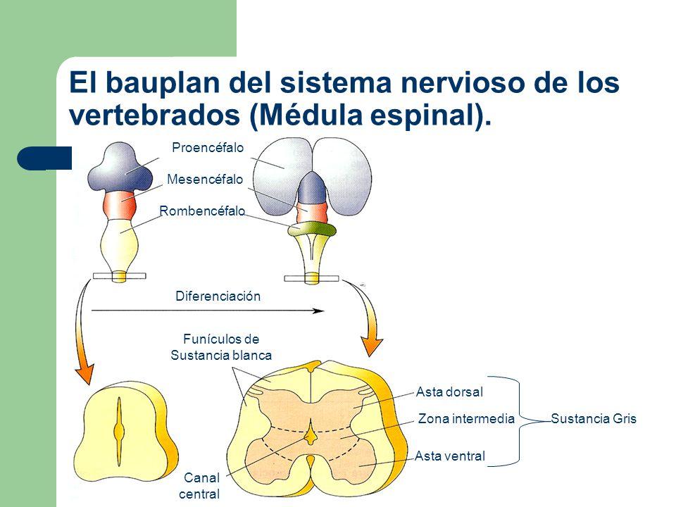 División anatómica del bauplan del Sistema Nervioso Central en Vertebrados Para una mejor descripción, los neuroanatomistas de vertebrados han dividido el encéfalo en 10 porciones