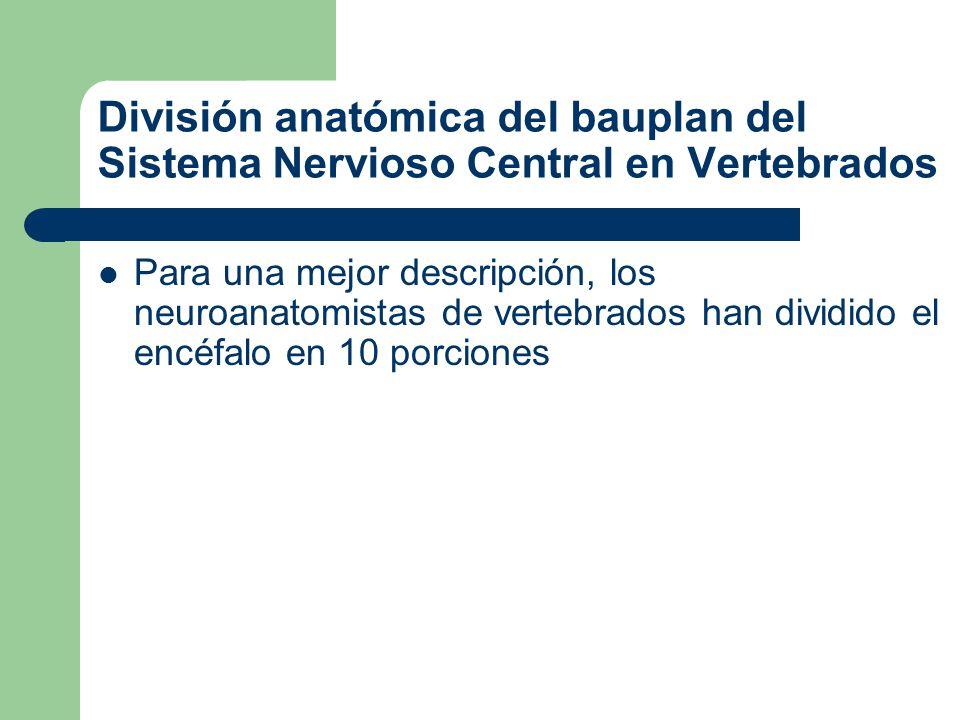 Cerebro anterior: Ctx=Corteza cerebral