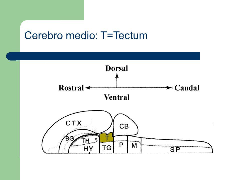 Cerebro medio: TG=Tegmentum