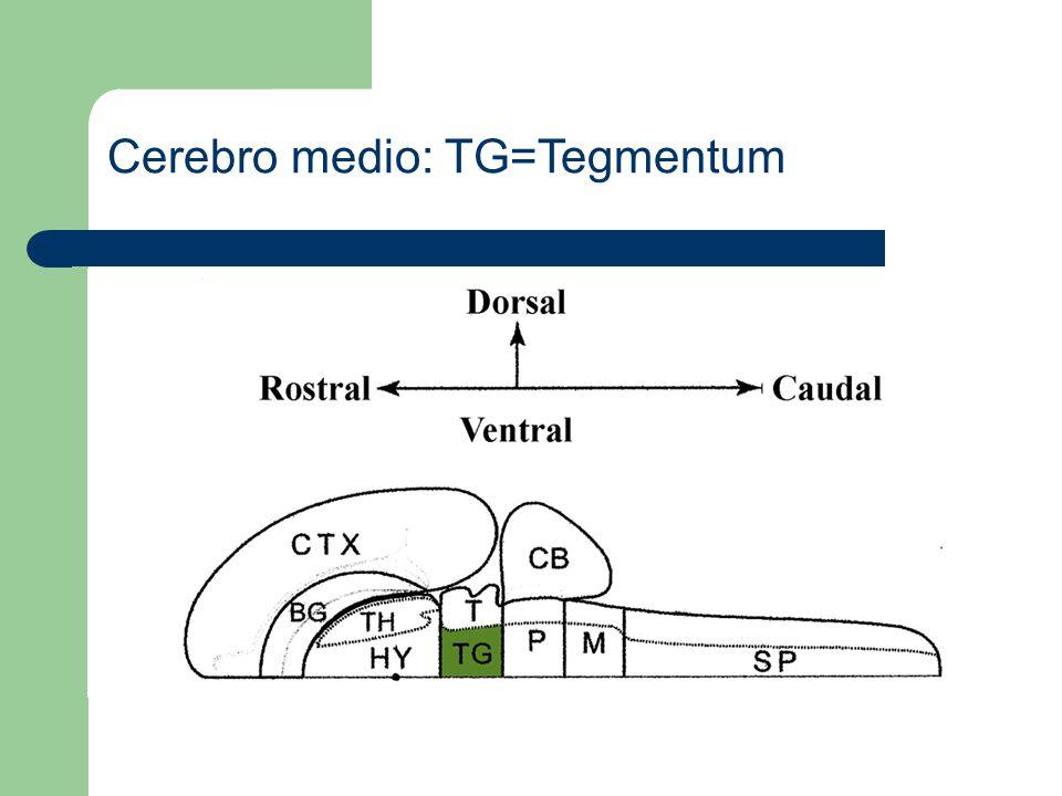 Cerebro posterior: CB=Cerebelo