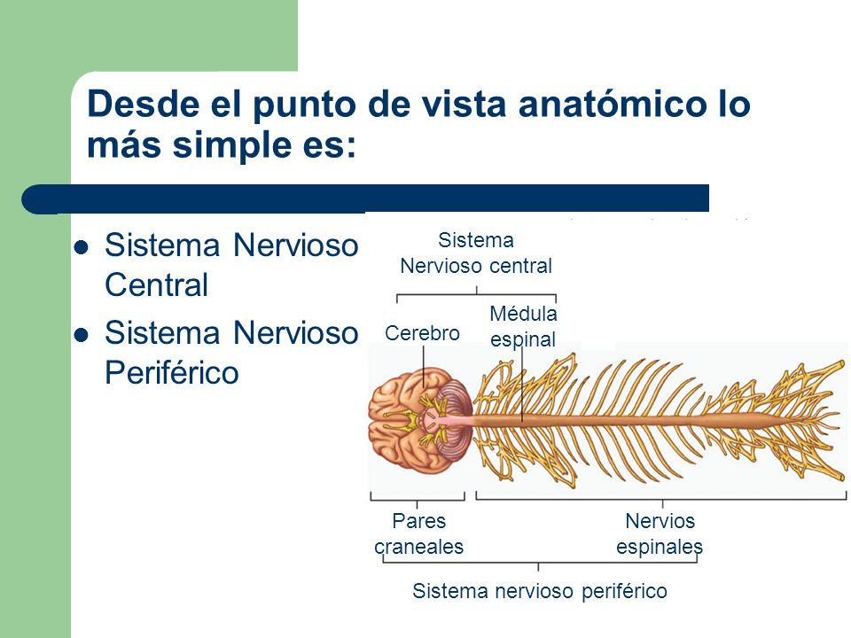 Dirección de los estímulos Aferente (lleva los estímulos de los órganos de los sentidos al SNC) Eferentes (lleva las respuestas del SNC a los órganos efectores)