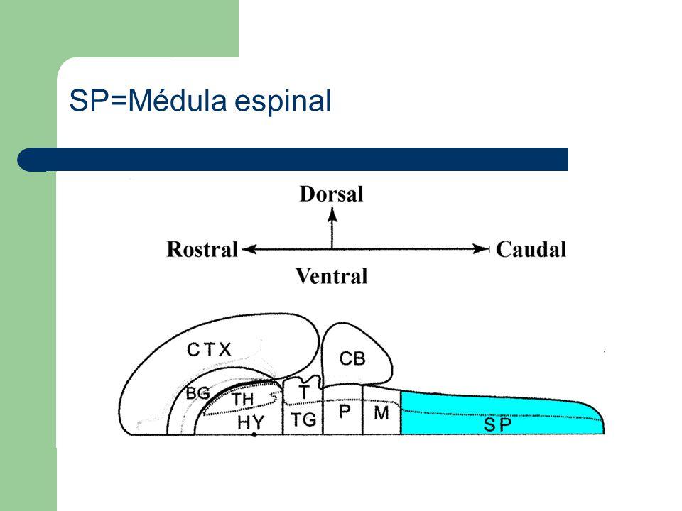Ctx=Corteza cerebral BG=Ganglios basales TH=Tálamo HY=Hipotálamo T=Tectum TG=Tegmentum CB=Cerebelo P=Puente M=Médula Oblongada SP=Médula espinal