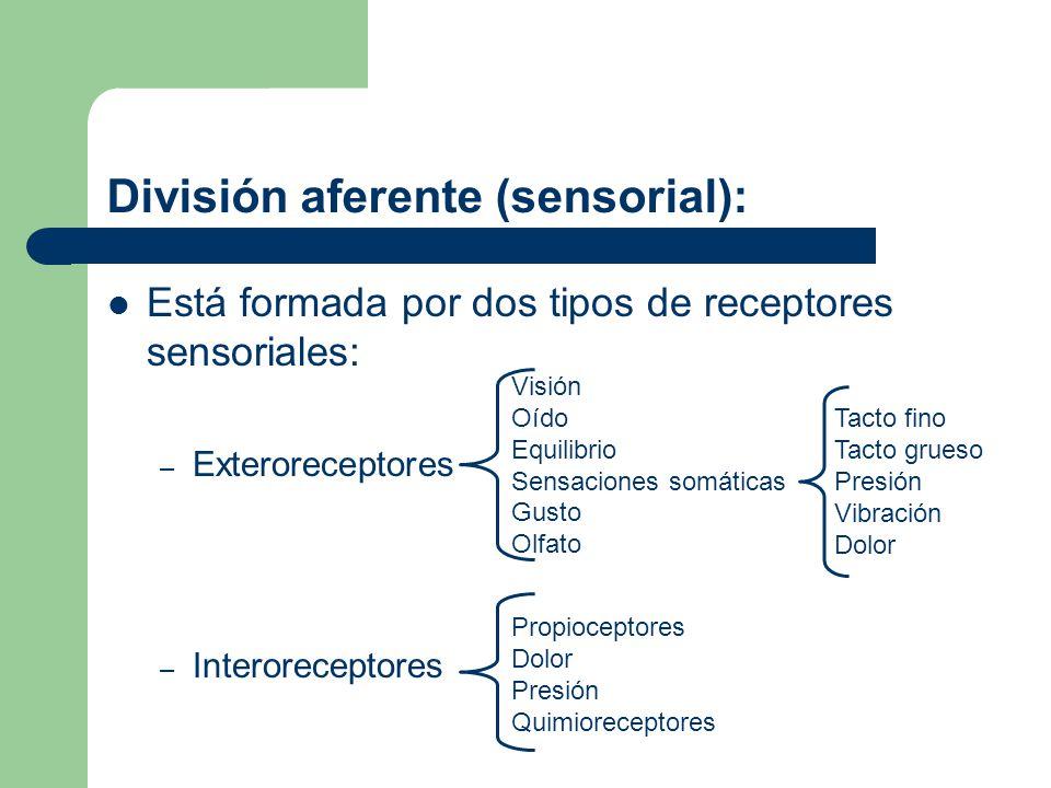 División eferente (motora): Lleva la respuesta motora del Sistema Nervioso Central a los órganos efectores (músculos y glándulas) Aferencia Eferencia Integración Cerebro y Médula espinal Órganos de los sentidos Efector: Músculo o glándula Nervios sensoriales Nervios motores