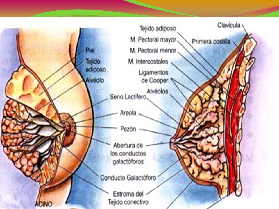 FISIOLOGÍA DE LA LACTANCIA Las terminaciones nerviosas de la areola estimulada por el bebe.