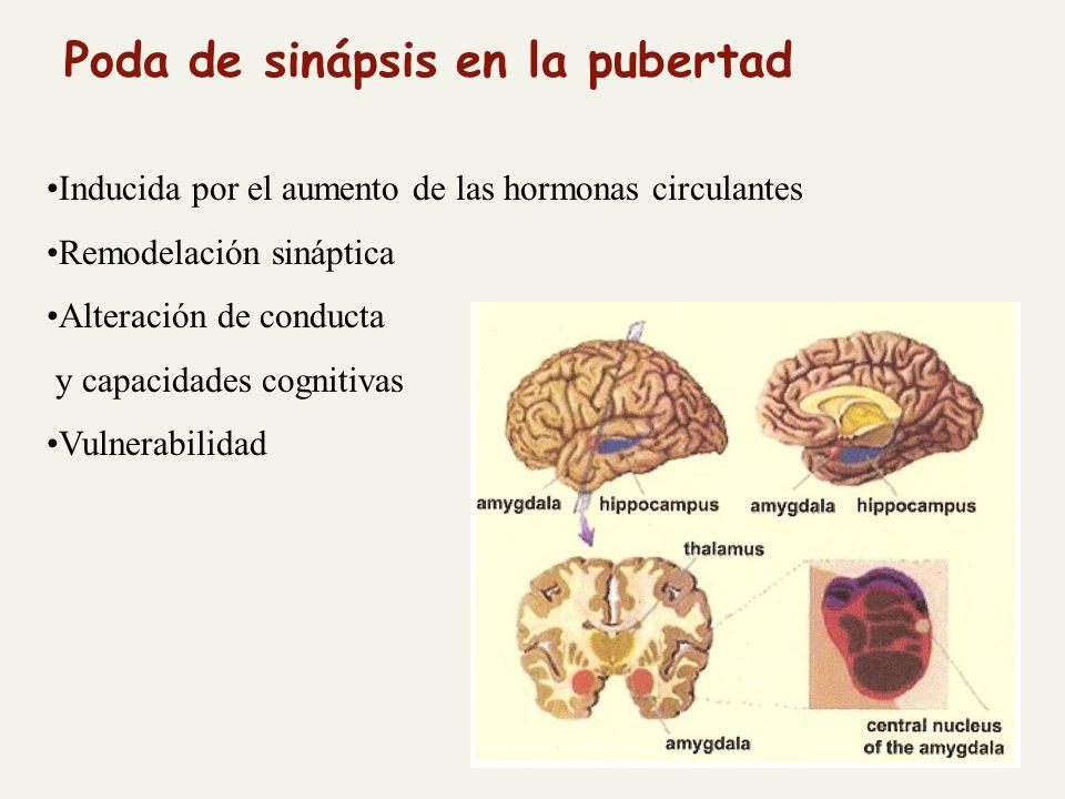 Poda de sinápsis en la pubertad Inducida por el aumento de las hormonas circulantes Remodelación sináptica Alteración de conducta y capacidades cognitivas Vulnerabilidad