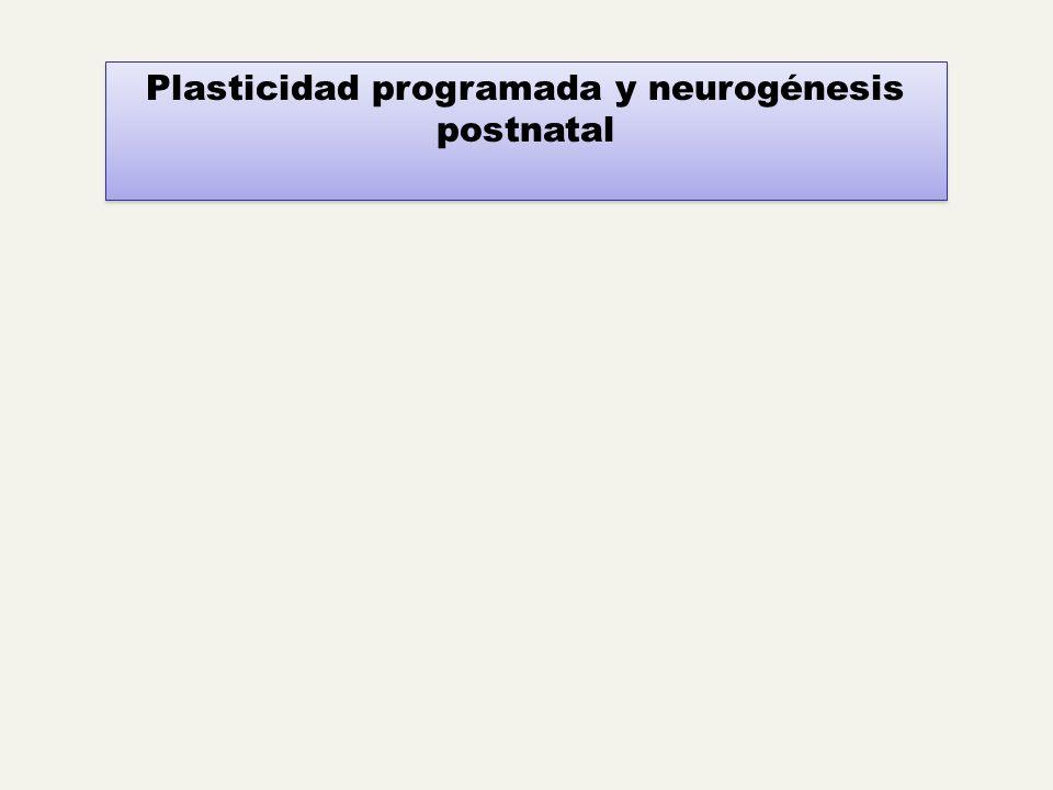 Plasticidad programada y neurogénesis postnatal
